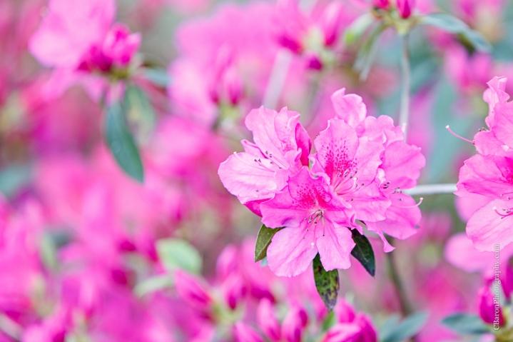 C. Baron Photography, Houston Engagement Photographer, Waller Engagement Photographer, Aggies, country, dog, stone, Texas, Texas A&M, azaleas, dock, spring, flower leash